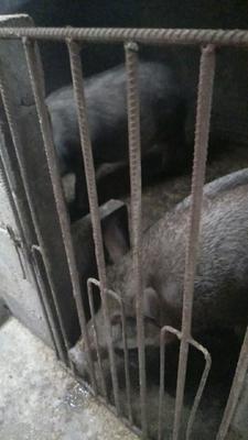 贵州省黔西南布依族苗族自治州兴义市生态野猪 200-300斤 统货