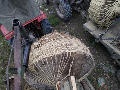 陕西省汉中市南郑县银杏实生树