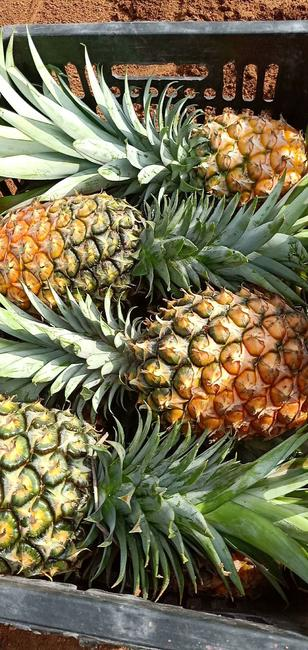 无眼菠萝 1 - 1.5斤