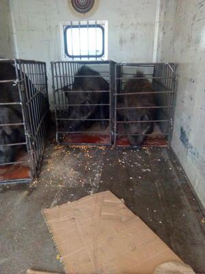 陕西省商洛市洛南县生态野猪 160-200斤 统货