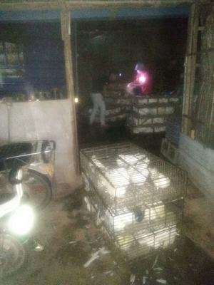 广东省惠州市惠城区乳鸽 新鲜