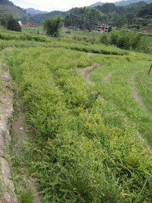 江西省宜春市铜鼓县南方红豆杉 0.5米
