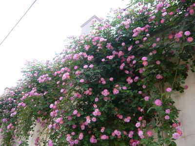 山东省临沂市郯城县红花蔷薇