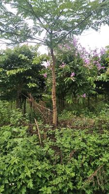 广西壮族自治区南宁市江南区宫粉紫荆树