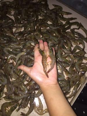 广西壮族自治区北海市合浦县中国对虾 人工殖养 4-6钱
