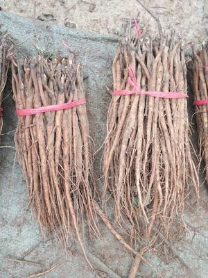 山东省菏泽市牡丹区油用牡丹种苗 2cm以下 4cm以下 0.5米以下