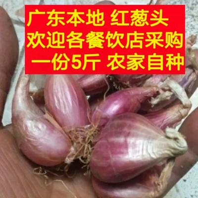 广东省惠州市博罗县红葱种