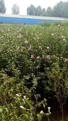 河北省保定市定州市红花木槿树