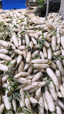 河北省保定市涞水县白萝卜 1.5~2斤