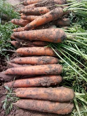 陕西省榆林市靖边县三红胡萝卜 10~15cm 2两以上 3~4cm