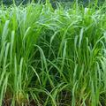 皇竹草种子