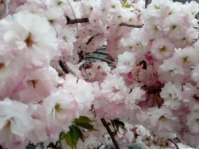 山东省泰安市岱岳区日本红叶樱花 8~10公分 1.5~2米