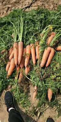 河南省开封市开封县三红胡萝卜 15cm以上 3两以上 4~5cm