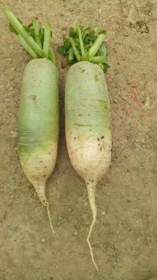 河南省开封市通许县青皮萝卜 1.5~2斤