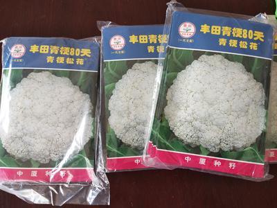 山东省潍坊市寿光市青梗菜种子