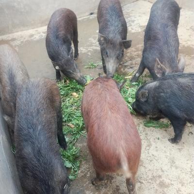 湖南省株洲市醴陵市特种野猪 80斤以上 统货