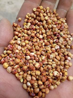 吉林省白城市大安市红高粱 霉变 ≤1% 1等品