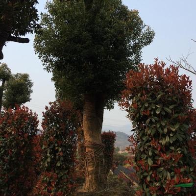 浙江省杭州市萧山区红叶石楠柱