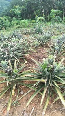 云南省西双版纳傣族自治州景洪市无眼菠萝 2.5 - 3斤