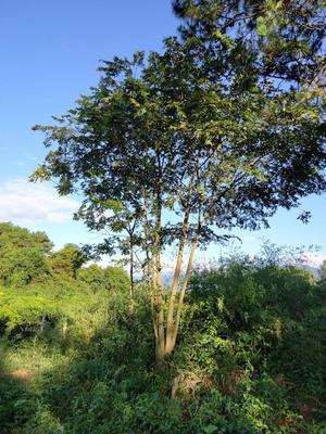 广东省广州市花都区丛生朴树