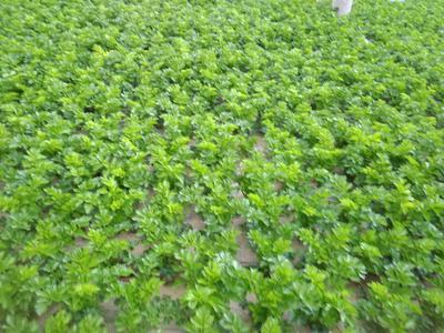 甘肃省定西市安定区法国皇后芹菜 55~60cm 露天种植 2.5~3.0斤