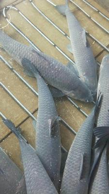 江苏省苏州市相城区淡水青鱼 人工养殖 10-18公斤