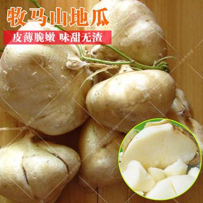 广东省湛江市雷州市马鞍山凉薯 500~1000g
