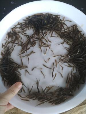 广东省广州市花都区台湾泥鳅苗