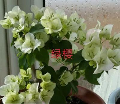云南省昆明市呈贡区绿樱三角梅 0.2米以下