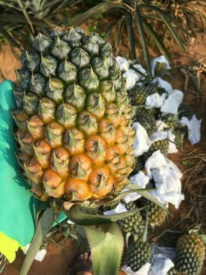 """广东省潮州市饶平县""""菲律宾""""(巴厘)菠萝 1.5 - 2斤"""