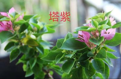 云南省昆明市呈贡区塔紫三角梅袋苗 0.2米以下
