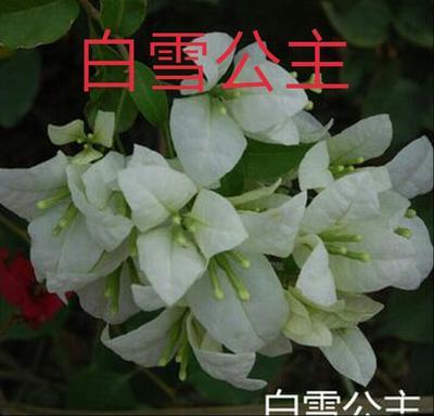 云南省昆明市呈贡区白色三角梅 0.2米以下
