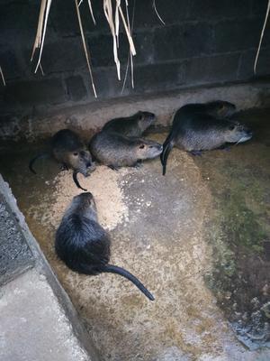这是一张关于海狸鼠的产品图片