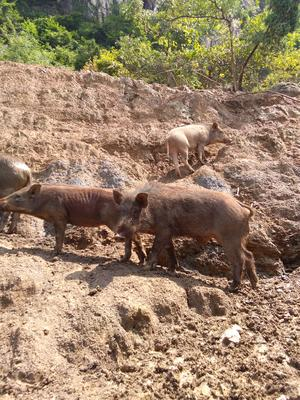 湖北省黄石市阳新县特种野猪 100斤以上 统货