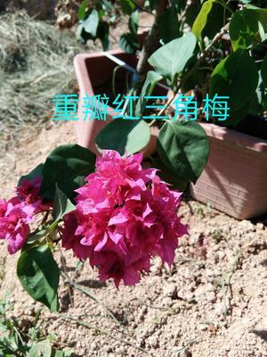 云南省昆明市呈贡区重红三角梅 0.2米以下