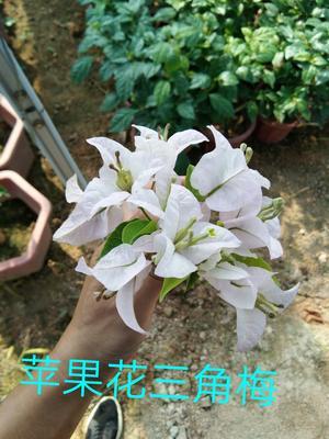 云南省昆明市呈贡区苹果花三角梅袋苗 0.2米以下
