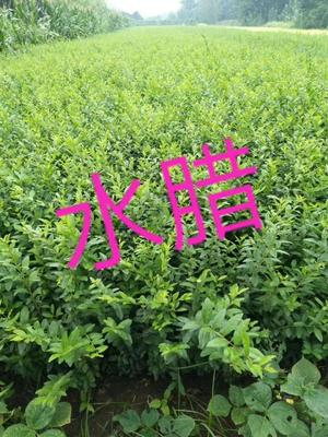 陕西省西安市周至县水蜡