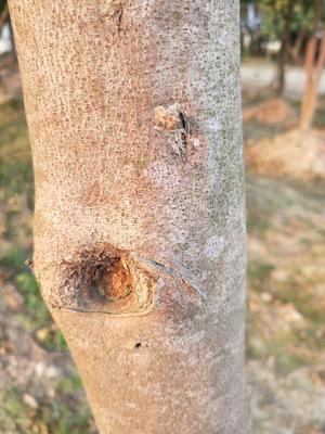 广西壮族自治区玉林市博白县奇楠沉香树