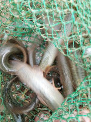 湖南省邵阳市隆回县台湾泥鳅 50-60尾/公斤 10-15cm 人工养殖