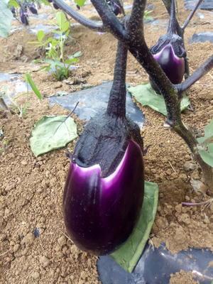 贵州省安顺市西秀区紫光圆茄 2两以上