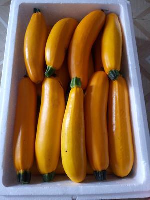 云南省红河哈尼族彝族自治州蒙自市香蕉西葫芦 0.6~0.8斤