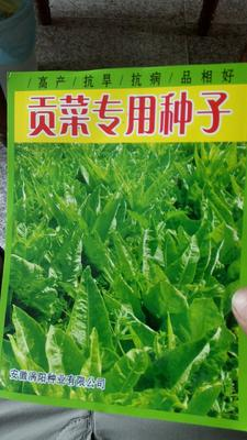 安徽省亳州市涡阳县贡菜种子