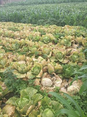贵州省毕节市威宁彝族回族苗族自治县阳春白菜 3~6斤 毛菜