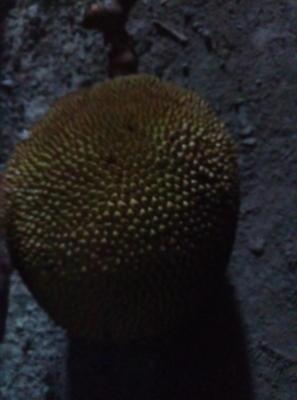 广东省茂名市高州市野菠萝 5斤以上