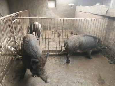 甘肃省甘南藏族自治州临潭县生态野猪 20-30斤 统货