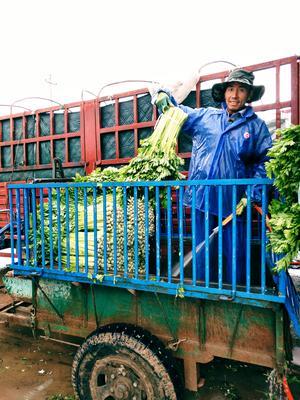 宁夏回族自治区固原市西吉县美国西芹 55~60cm 露天种植 0.5~1.0斤