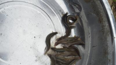 江西省九江市瑞昌市台湾泥鳅 35尾/公斤 15cm以上 人工养殖