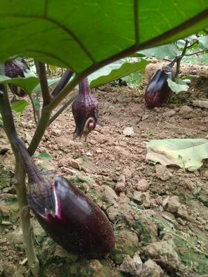 陕西省渭南市富平县紫长茄 5两以上