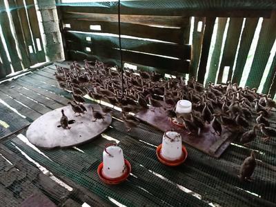 贵州省铜仁市沿河土家族自治县灰色珍珠鸡 6-8斤