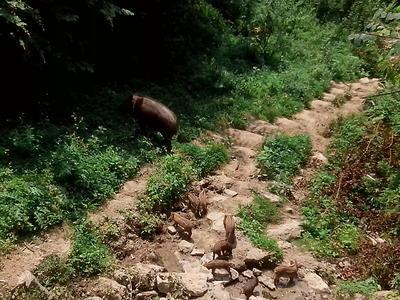 贵州省毕节市七星关区特种野猪 40-60斤 统货